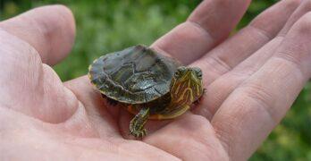 How long do pet turtles live?